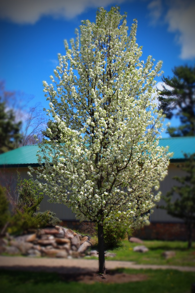 Columnar pear tree-with white cluster flowers. reat for narrow spaces.