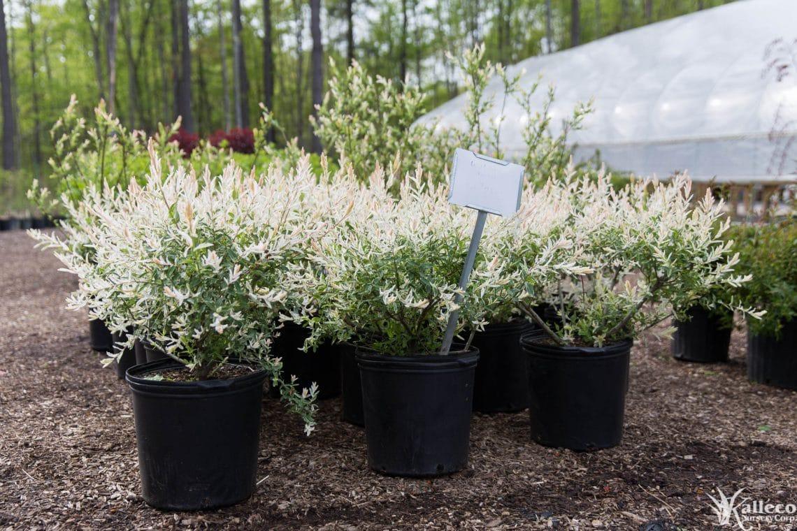 Tri-Color Willow - Plant Profile - Kalleco Nursery Corp.