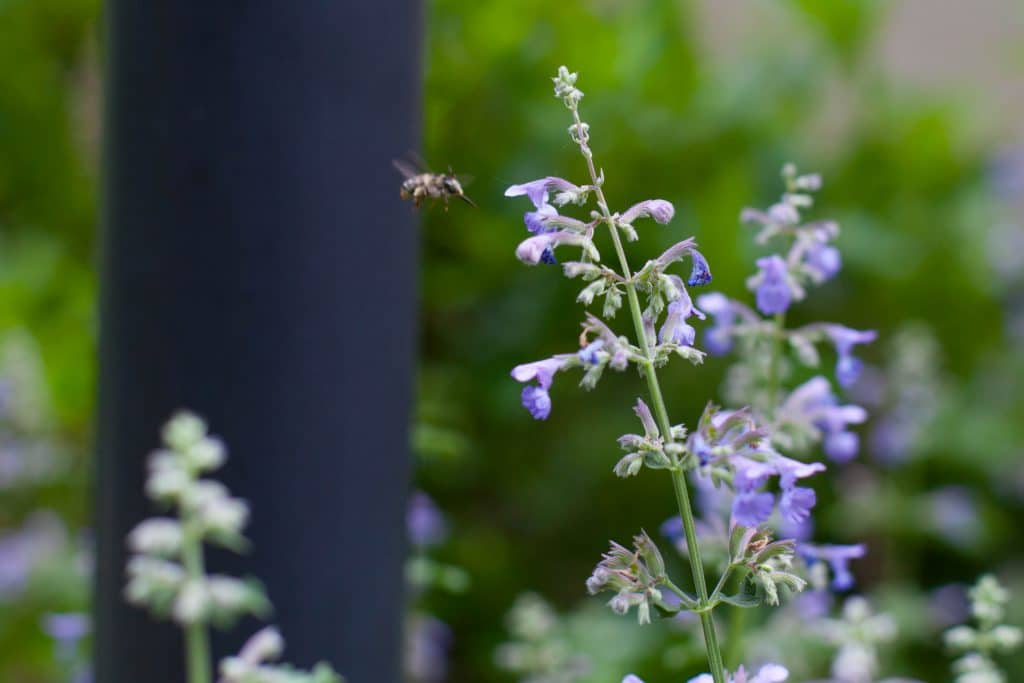 A bee approached Nepeta (Cat Mint)