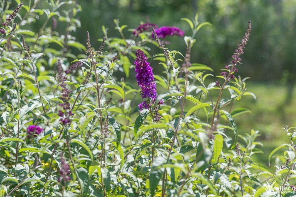 kalleco nursery butterfly bush-4