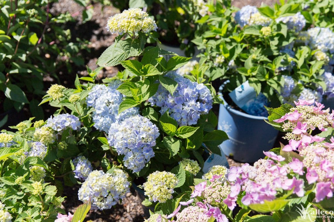 Hydrangea Plant Profile