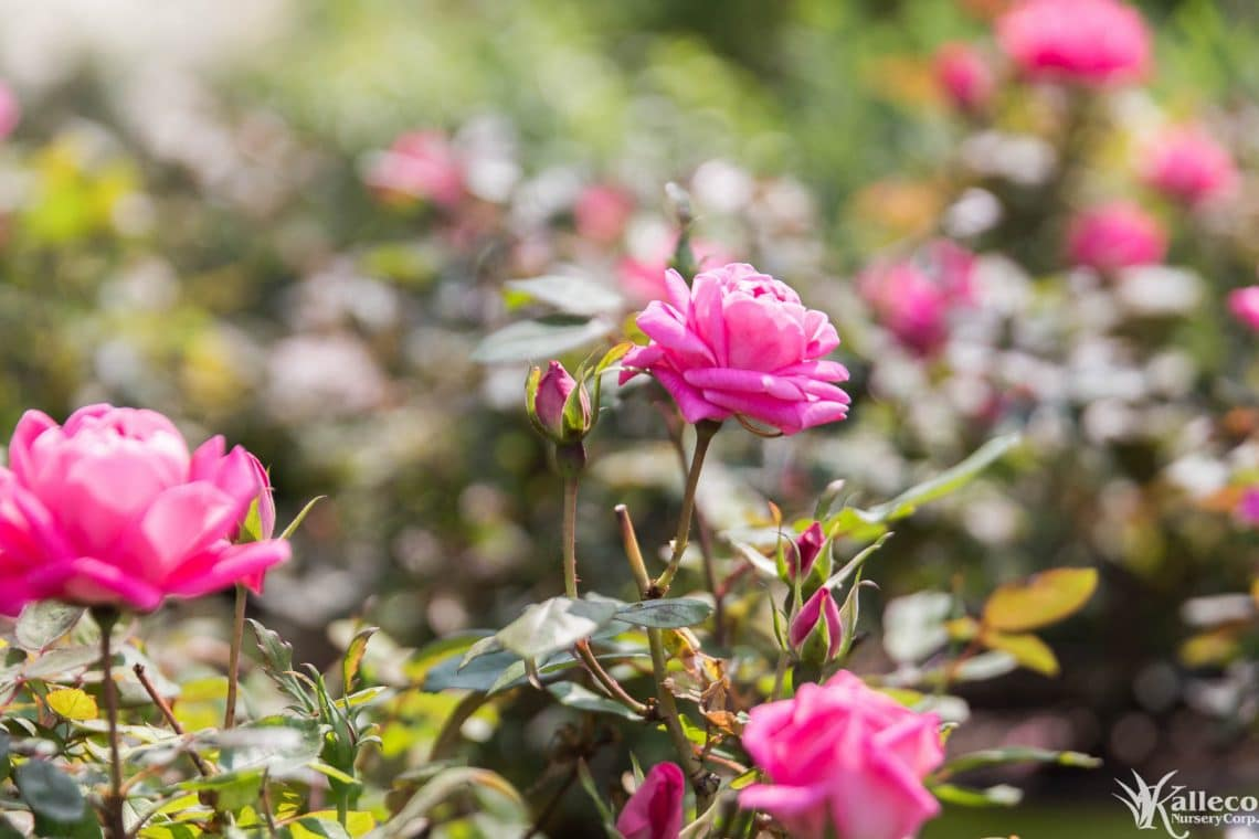 Description Rose Bushes Are Hardy Deciduous Shrubs That Feature Iconic Roses Throughout The Year Blooming From Early Spring Until Late Fall