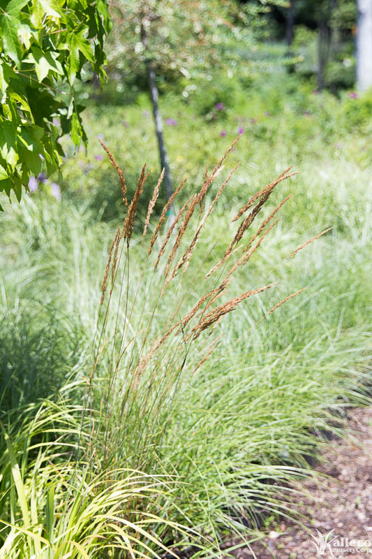 Elle riccardi author at kalleco nursery corp for Low mounding ornamental grasses