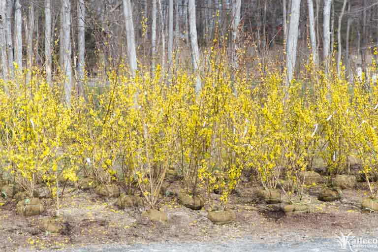Forsythia bushes in bloom at Kalleco Nursery.