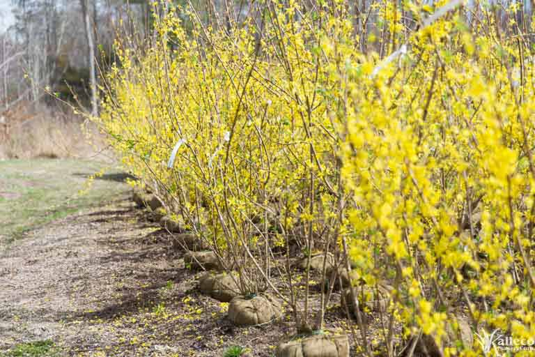 Forsythia bushes in bloom at Kalleco Nursery.