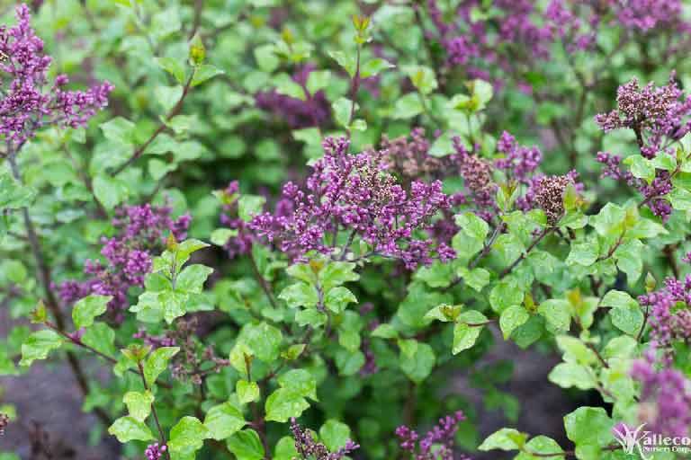 Lilac Plant Profile Kalleco Nursery Corp
