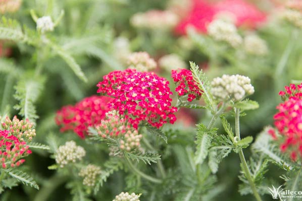 Yarrow – Plant Profile