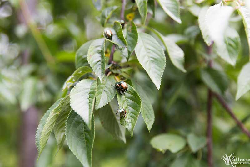 Removing Japanese Beetles from Your Landscape