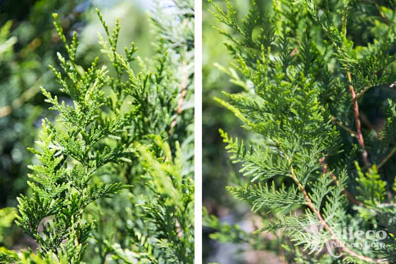 "Arborvitae ""Green Giant"" at kalleco nursery"