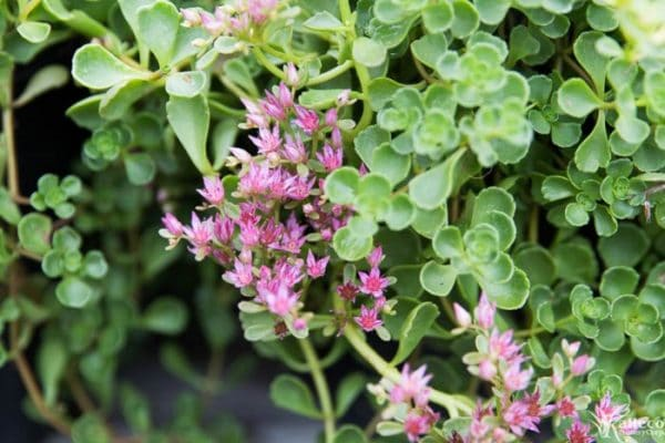 "The pink flowers of Sedum Spurium ""John Creech"""