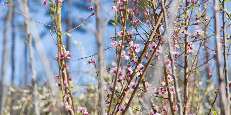 Fruit tree blossoms in early spring at Kalleco Nursery in Tillson, NY
