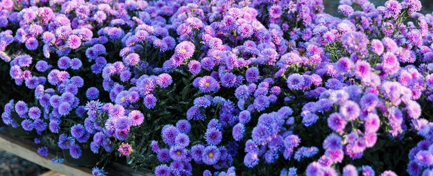 Hardy purple asters at Kalleco Nursery, Hudson Valley Plant Nursery
