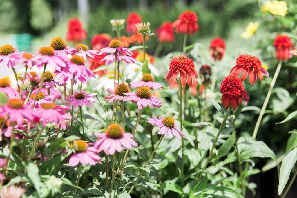 Purple and ornamental red echinacea coneflower at Kalleco Nursery, Hudson Valley Plant Nursery.