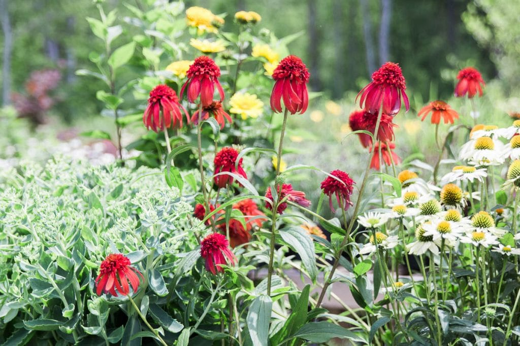 Red ornamental echinacea in the Hudson Valley, NY