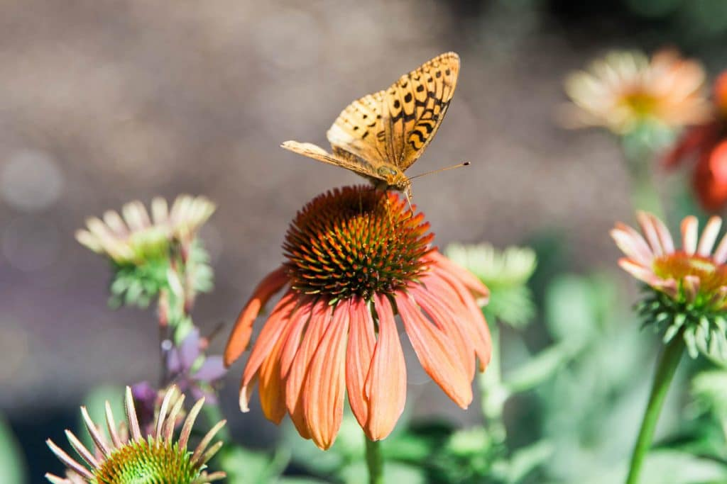 A butterfly landing on an orange coneflower.