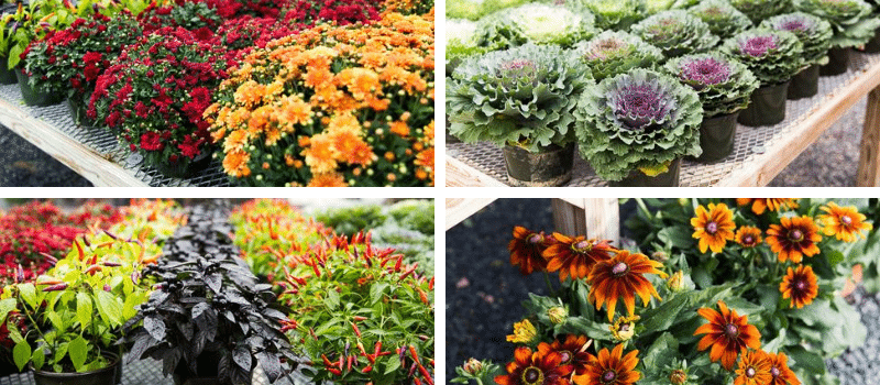 Kalleco Nursery - Fall Autumn Annuals Mums Cabbage Peppers Hudson Valley Ulster County