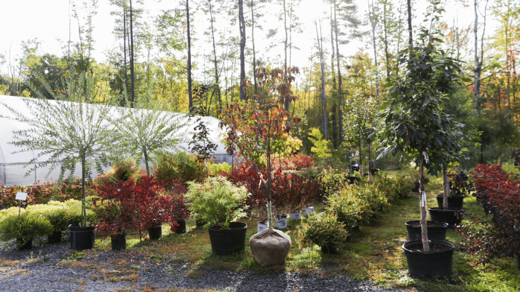 Shrubs and trees in pots with fall colors at Kalleco Nursery, Corp.