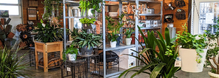 Indoor plants like Monstera, Ivy, Snake PLants, air plants, and dragon trees at Kalleco Nursery Corp.